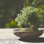 bonsai-1313531_640